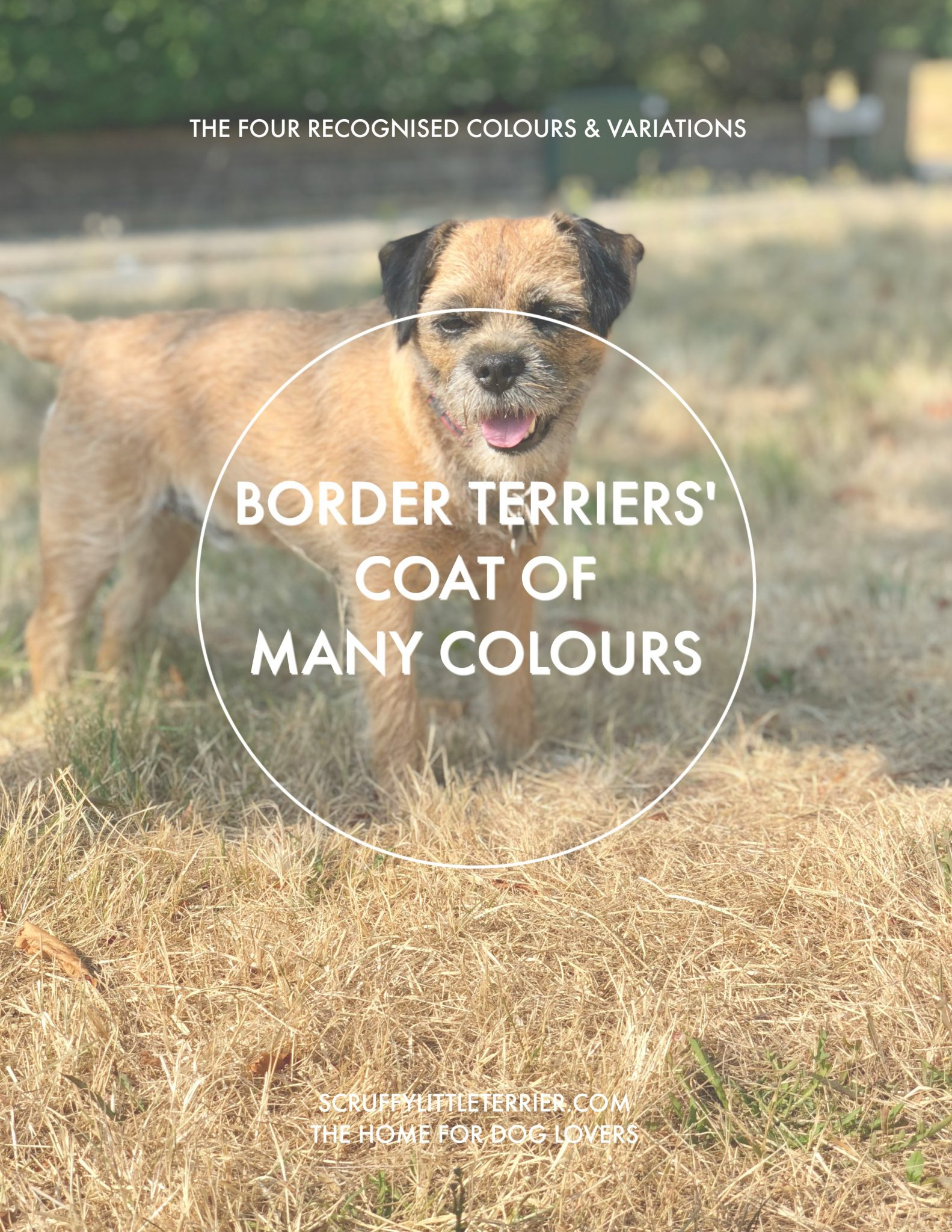 Border Terrier Coat Colours {Border Terrier Colours} #BorderTerrier #BlueTan #Grizzle #CoatColour www.scruffylittleterrier.com