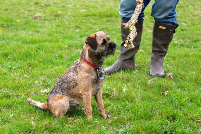 Border Terriers' Coat of Many Colours