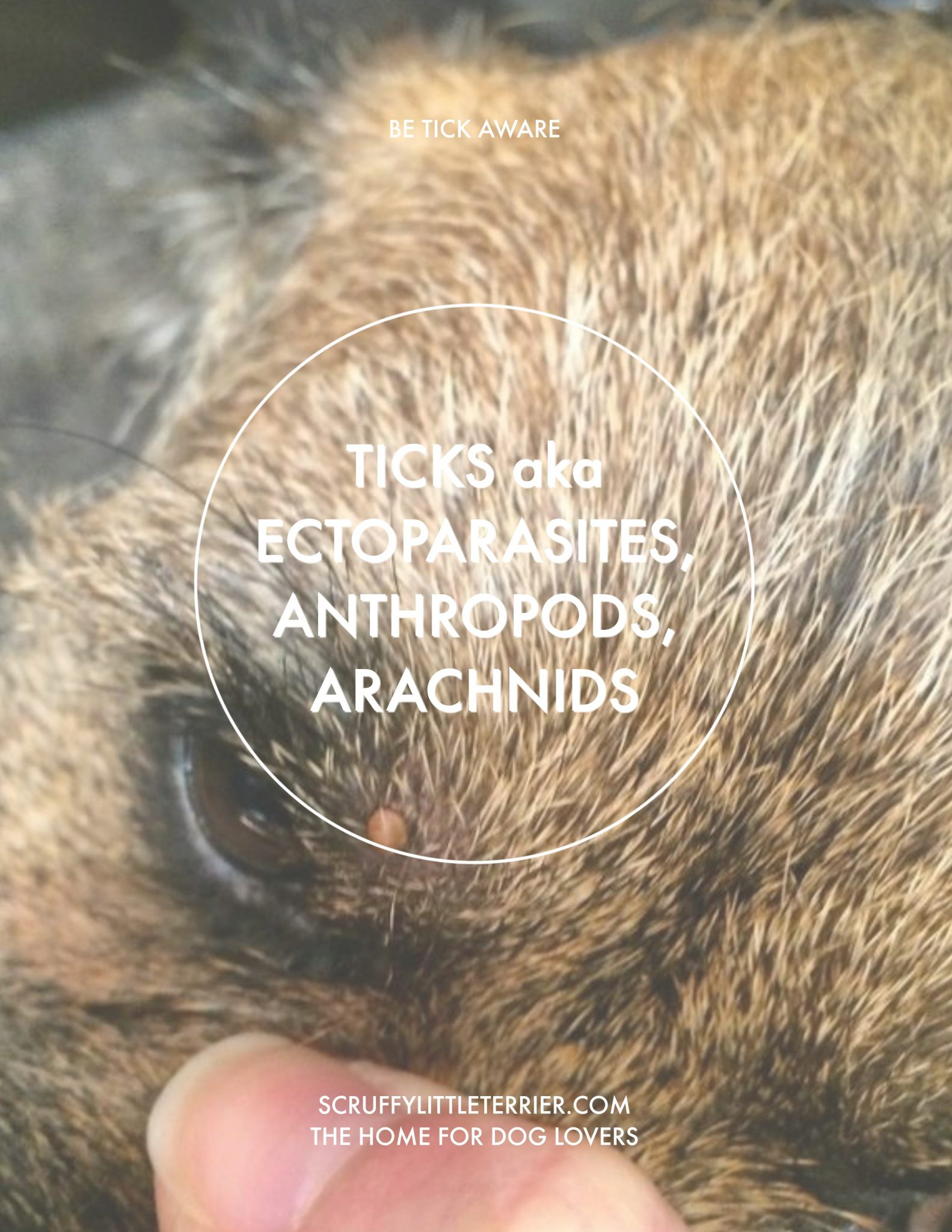 Ticks {Ticks aka Ectoparasites, Anthropods, Arachnids} #ticks #doghealth www.scruffylittleterrier.com