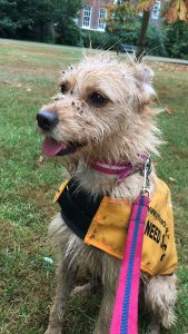 Sandy's Story {rescue} #rescue, #adopt www.scruffylittleterrier.com