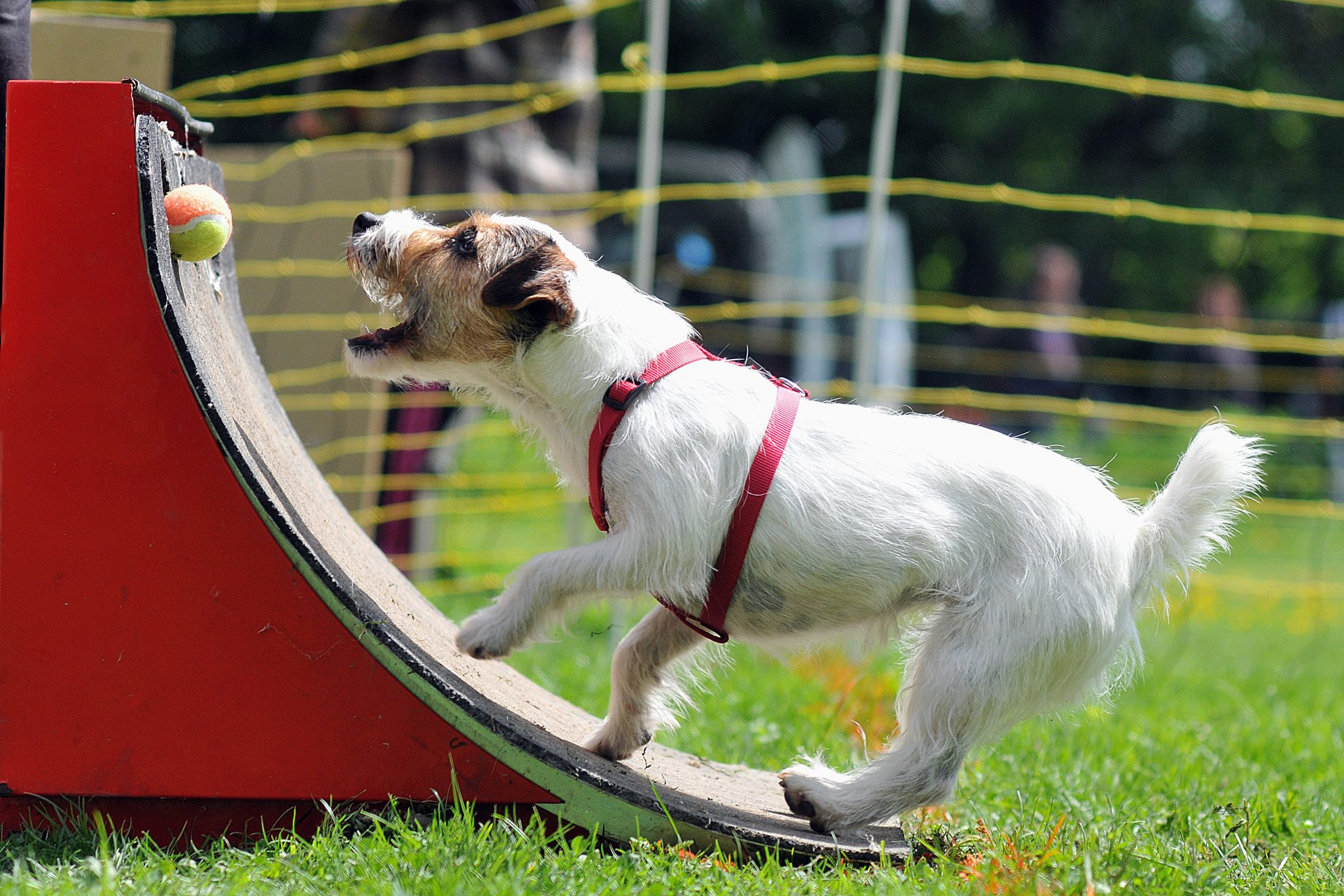 Activities With Your Dog {Activities} #Flyball #Obedience #Activities #Crufts #Exercise #DogTraining #DogActivity www.scruffylittleterrier.com