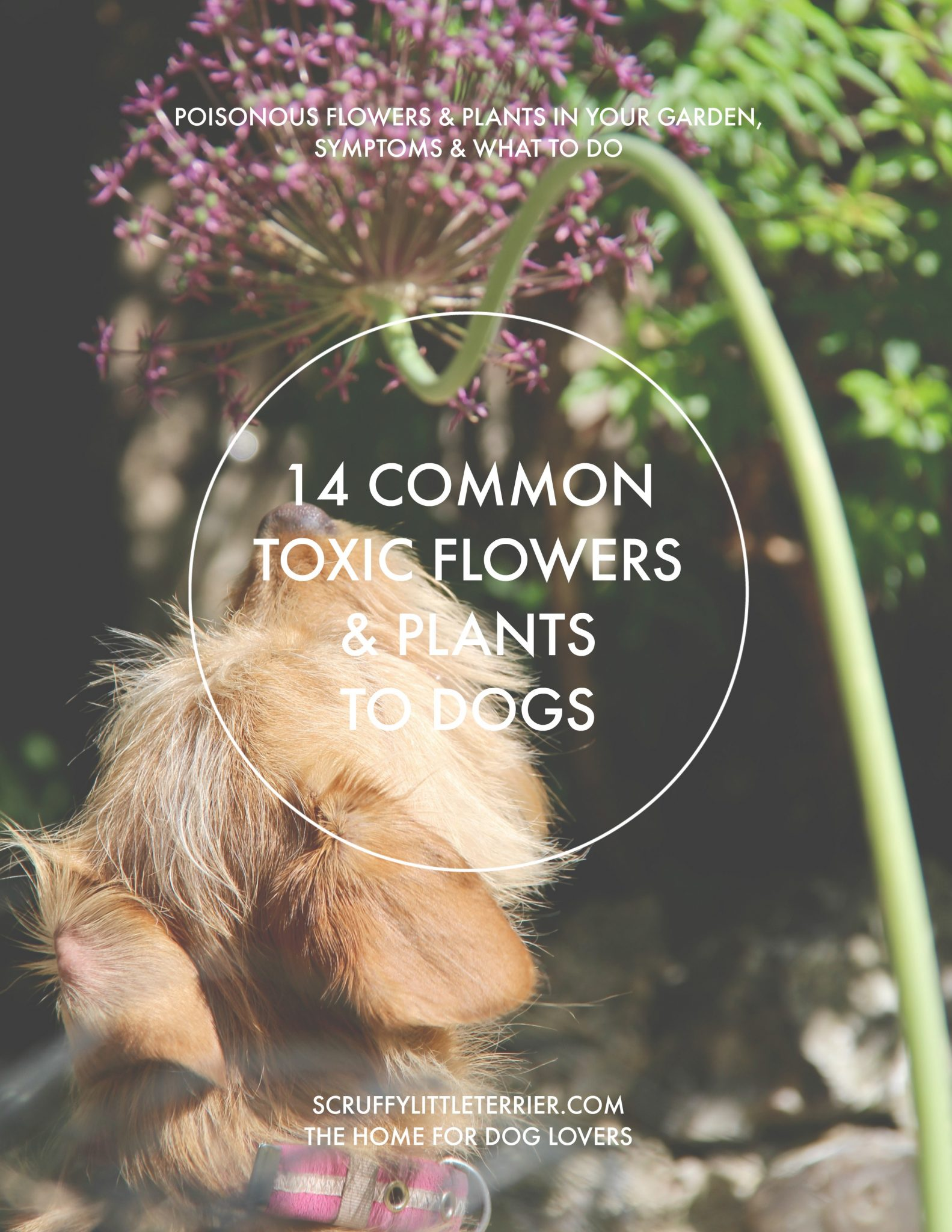 Poisonous Flowers & Plants To Dogs {14 Common Toxic Flowers & Plants To Dogs} #PoisonousPlants #PoisonousFlowers #ToxicFlowers #DogHealth www.scruffylittleterrier.com