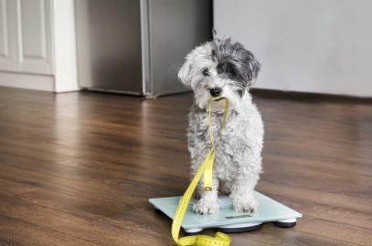 How To Tell If Your Dog Is Overweight {DogHealth} #HealthyDog #OverweightDog #DogHealth #OverweightDog #ObeseDogwww.scruffylittleterrier.com