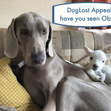 Searching For Obie the Weimaraner ~ DogLost Appeal