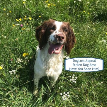 UPDATE: REUNITED! Dog Lost Appeal: Stolen Dog Amo ~ Springer Spaniel