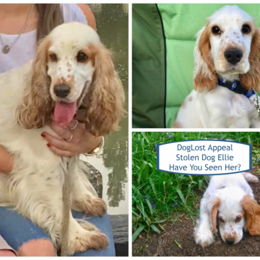 DogLost Appeal ~ Stolen Dog Ellie, Cocker Spaniel