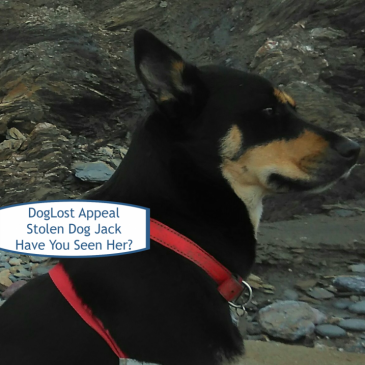DogLost Appeal ~ Missing Dog Jack, Kelpie