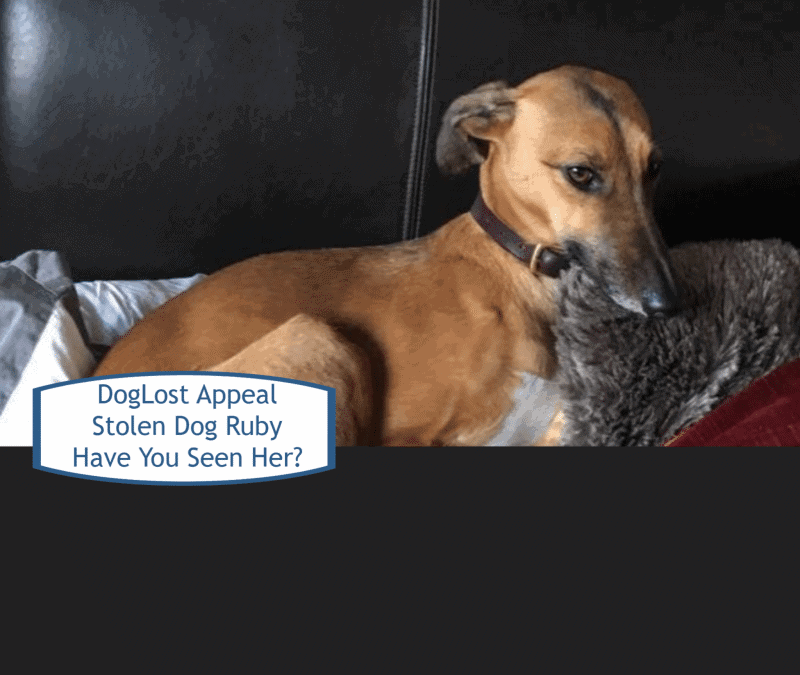 DogLost Appeal ~ Stolen Dog Ruby, Saluki/Whippet Cross