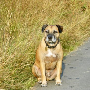 Dog Lost Appeal ~ Missing Dog Rufus, Staffy Cross