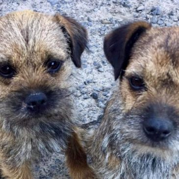DogLost Appeal ~ Stolen Dogs Ruby & Beetle, Border Terriers