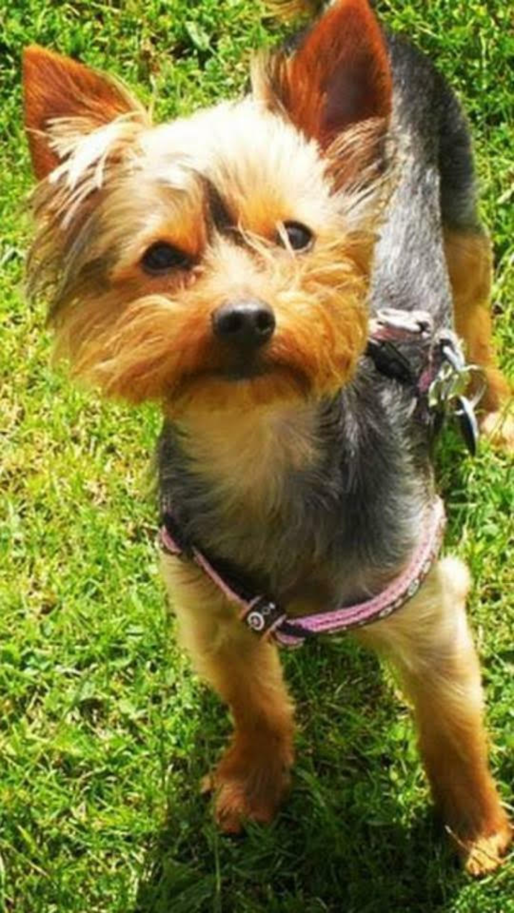 DogLost Appeal Missing Dogs Louie {DogLost} #Yorkshire Terrier #Louie #England #MissingDog #StolenDog #DogLost www.scruffylittleterrier.com