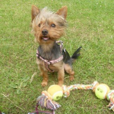 DogLost Appeal ~ Missing Dog Louie, Yorkshire Terrier