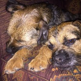 DogLost Appeal Stolen Dogs Amy Archie {DogLost} #Border Terrier #Archie #Amy #England #MissingDog #StolenDog #DogLost www.scruffylittleterrier.com