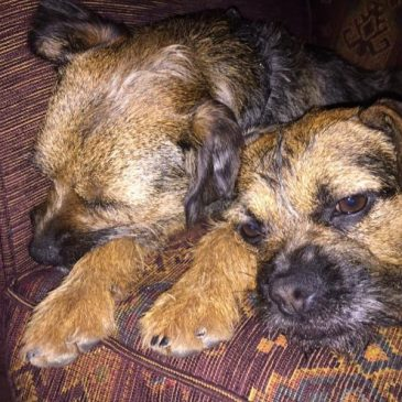 DogLost Appeal ~ Stolen Dogs Amy & Archie, Border Terriers