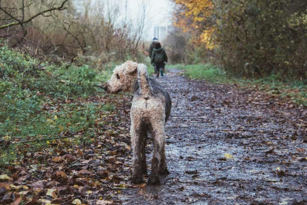 muddy dog walk