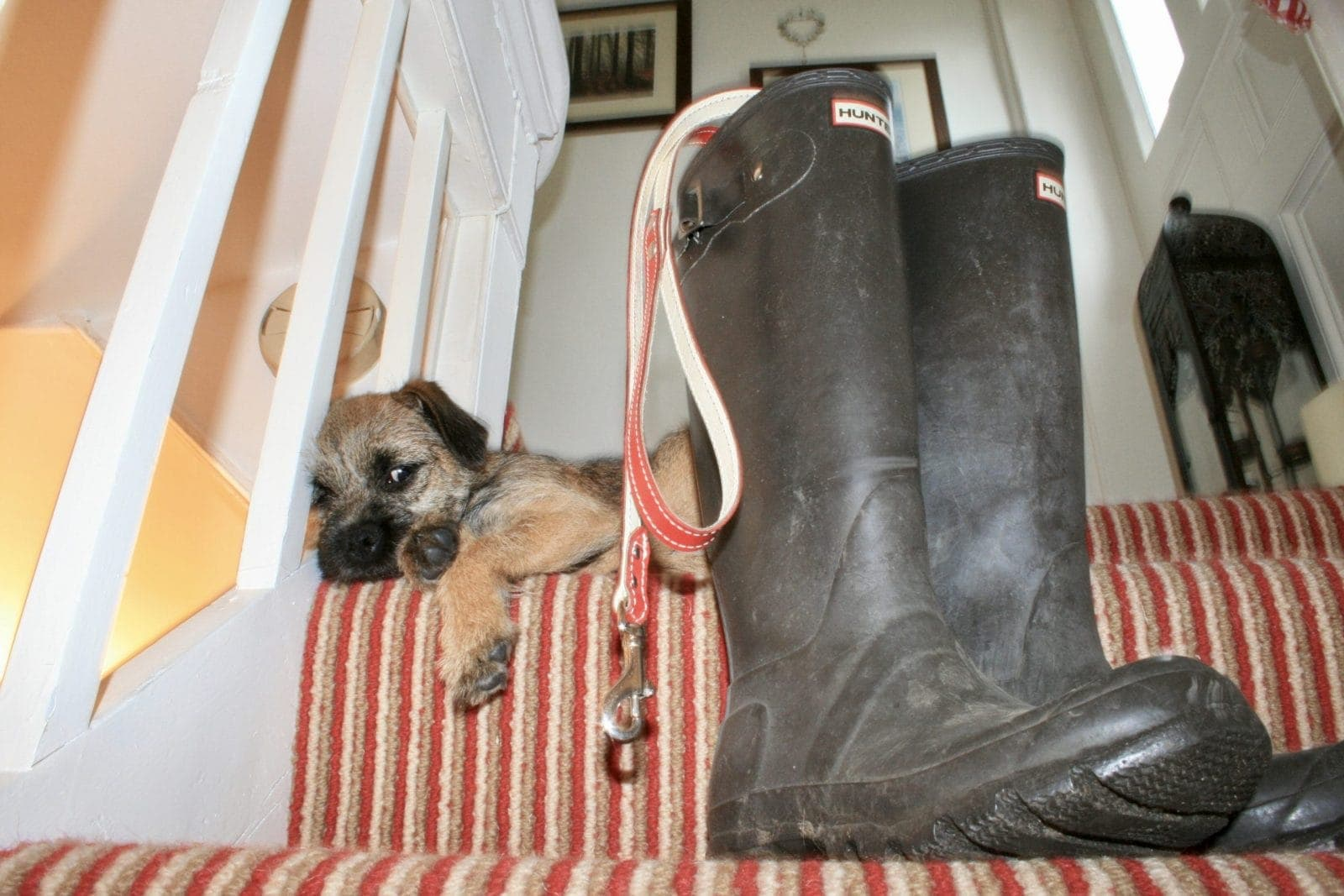 border terrier and wellies