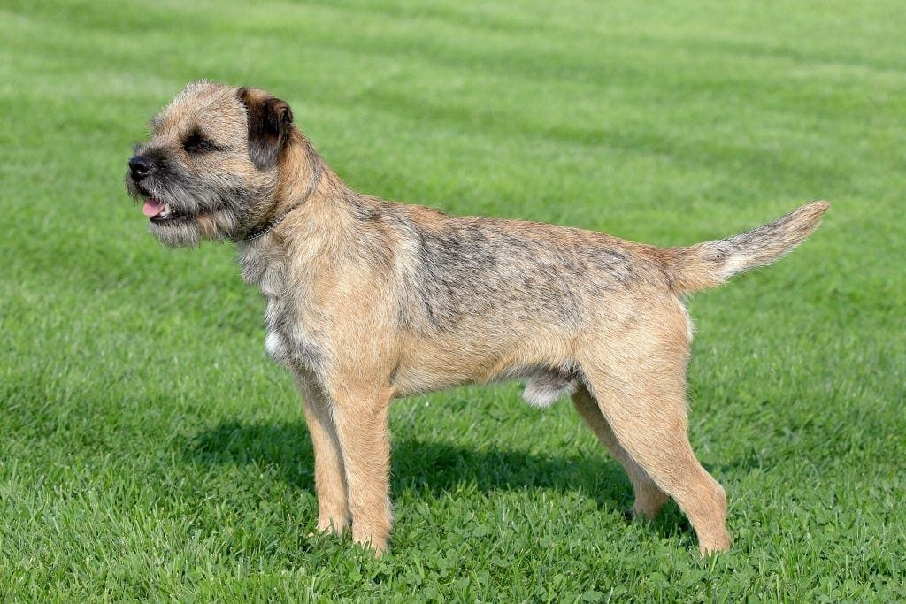 Typical Border Terrier in the spring garden