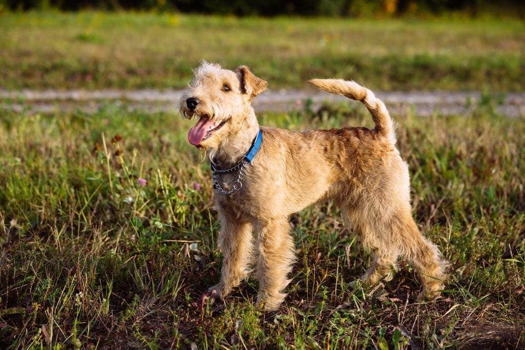 Lakeland Terrier Dog walking on the field