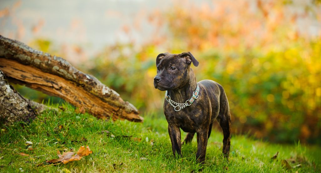 Staffordshire Bull Terrier in woodland