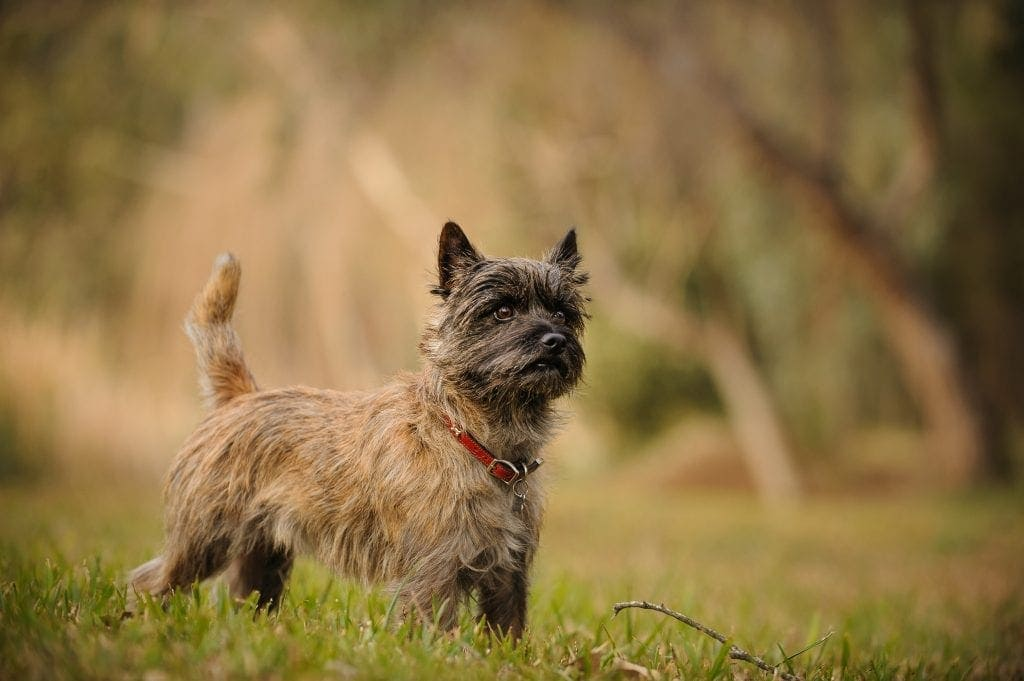 Cairn Terrier dog outdoor portrait standing in natural field with trees