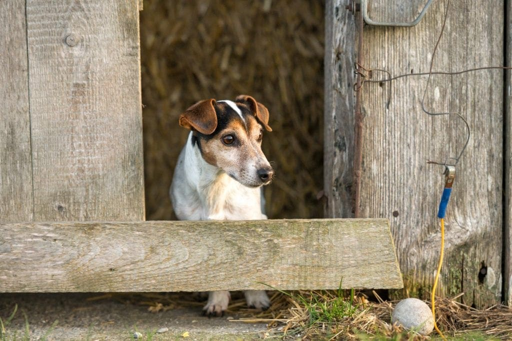 Dog is looking out of a barn. Cute Jack Russell Terrier 12 years old