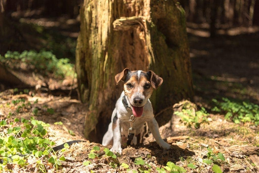 Jack Russell Terrier hound in the forest. Hunting dog is looking out of a burrow