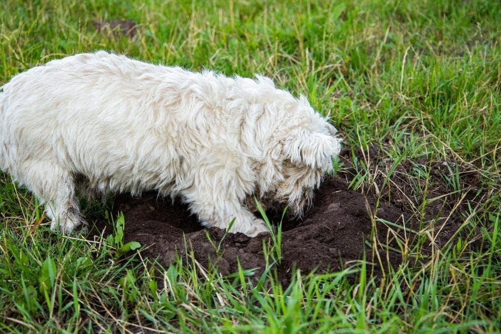 Westie dog digging a hole in the mud