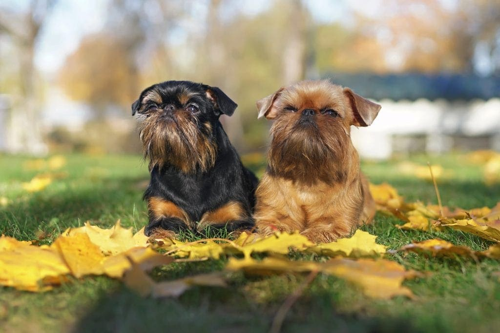 Brussels Griffon dogs (Griffon Belge and Griffon Bruxellois) lying outdoors on a green grass with fallen yellow maple leaves in autumn