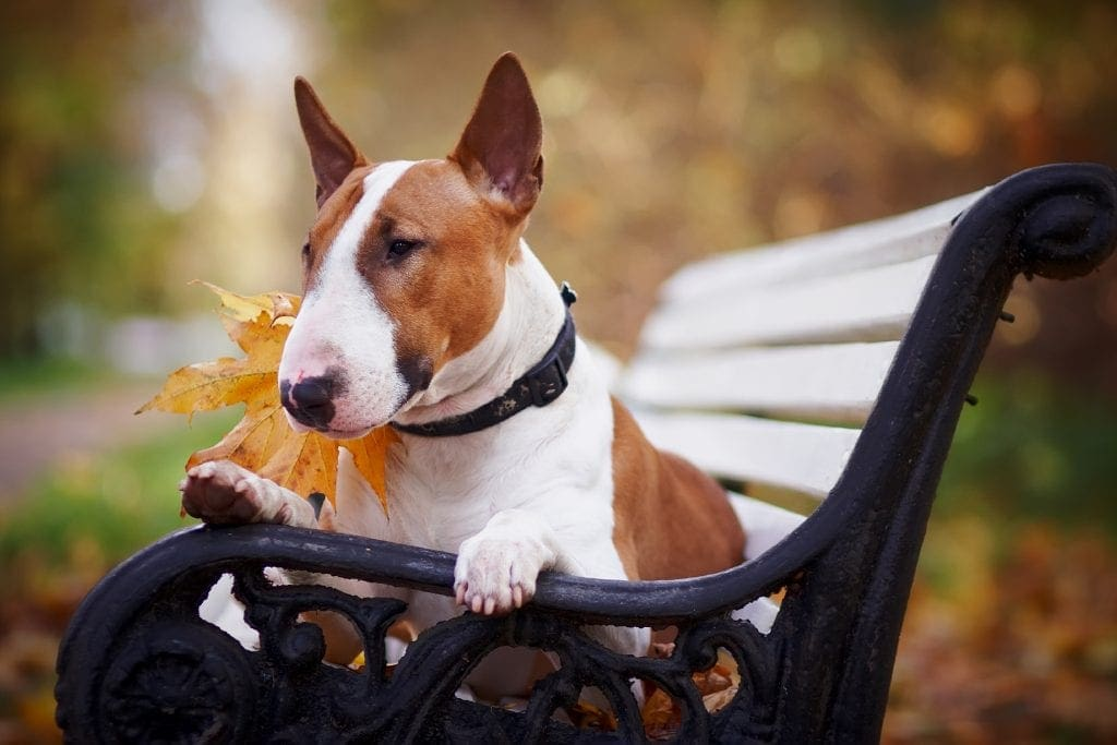 Bull Terrier dog sitting on a bench