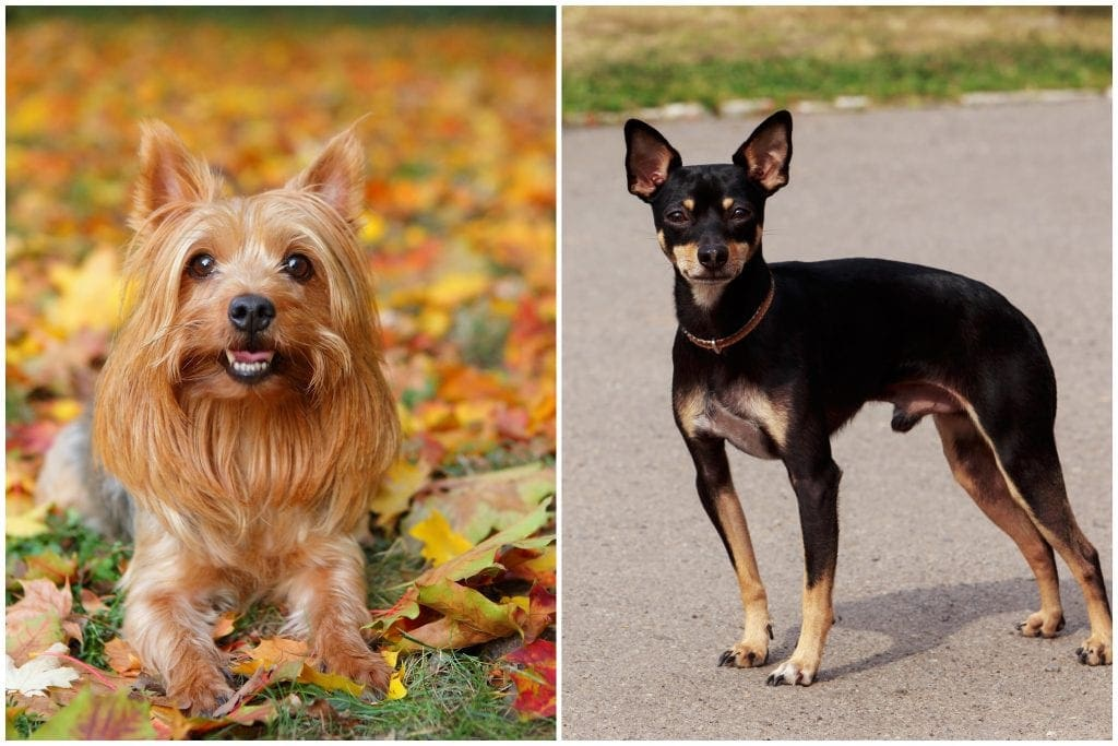 Australian Silky Terrier and English Toy Terrier