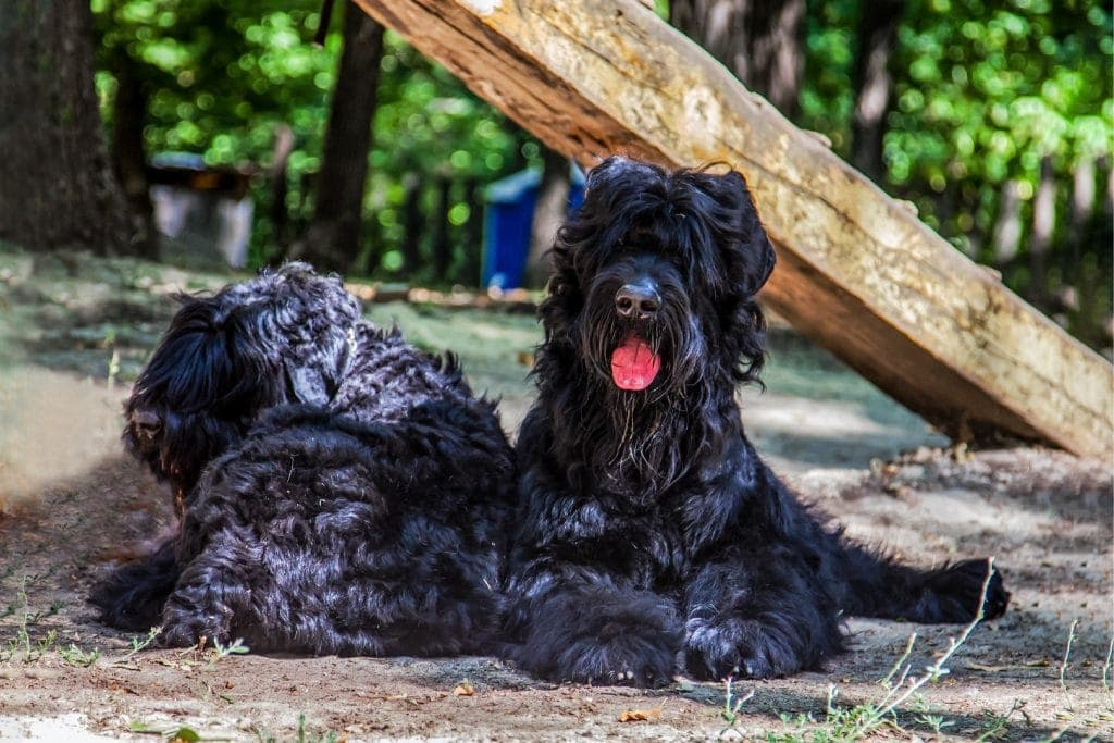 Two big dogs of Russian Black Terrier breed lay on the ground.